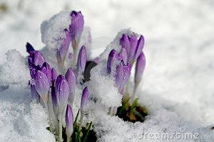 crocus-in-the-snow-spring--thumb1294868