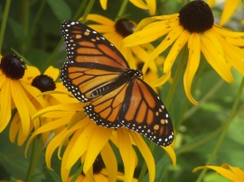 Monarch & black-eyed susans