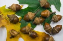 ID-100196945 (acorns)