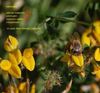 Honeybee - Image